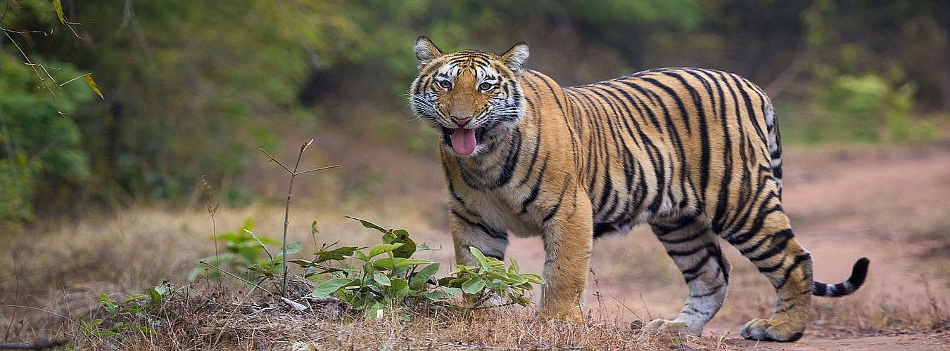 Dudhwa-National-park-Royal-Bengal-Tiger-Wildlife-at-Dudhwa-Park