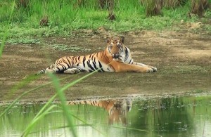 Pilibhit Tiger Reserves Welcome 15 Newborns To Its Home
