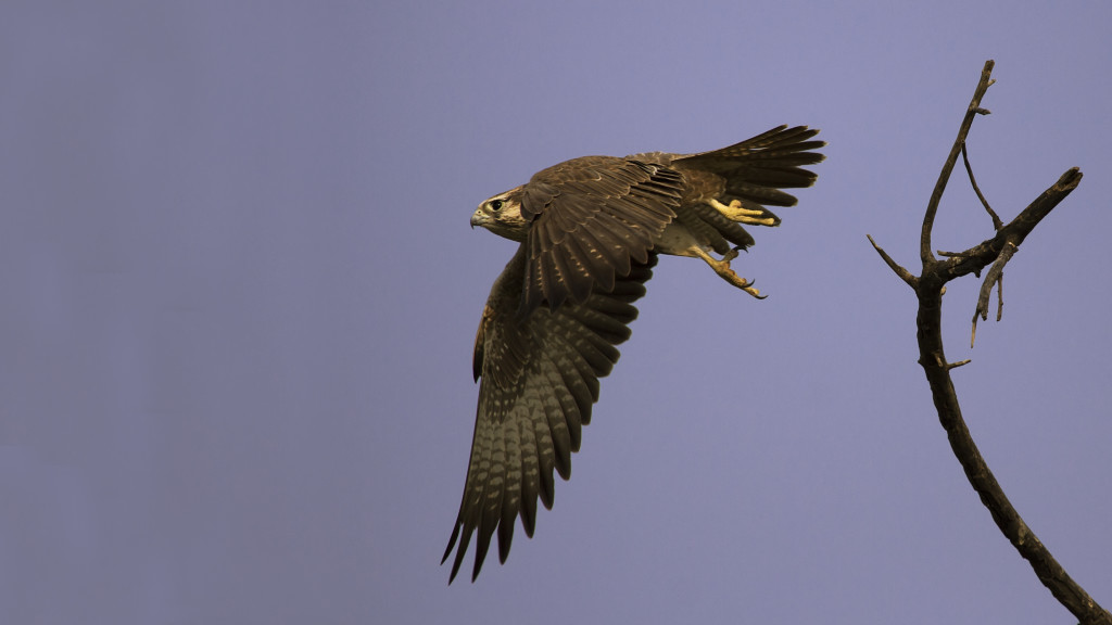 Laggar Falcon Flighting in Dudhwa National Park