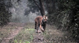 Dudhwa Tour Packages - tiger sighting in dudhwa