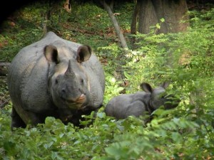Great Indian Rhino, Katerniaghat Wildlife Sanctuary