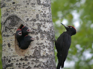 How A Woodpeckers Peck at Tree?