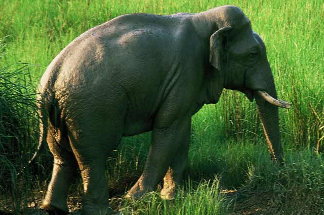 Know Your Elephant of Dudhwa - dudhwa national park wildlife animals