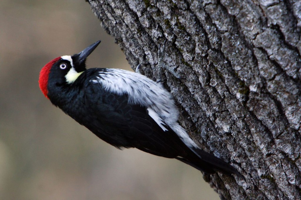 Why A Woodpeckers Peck at Tree