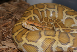 Burmese Python Found In Kishanpur Wildlife Sanctuary