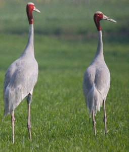 sarus crane bird, Katerniaghat Wildlife Sanctuary