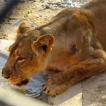 Lion Safari Etawah - Etawah Wildlife Safari Park - Etawah Booking - Safari Booking Etawah