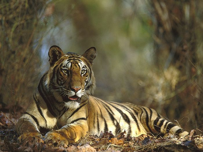 tiger in dudhwa national park - tiger sighting in dudhwa, jeep safar dudhwa