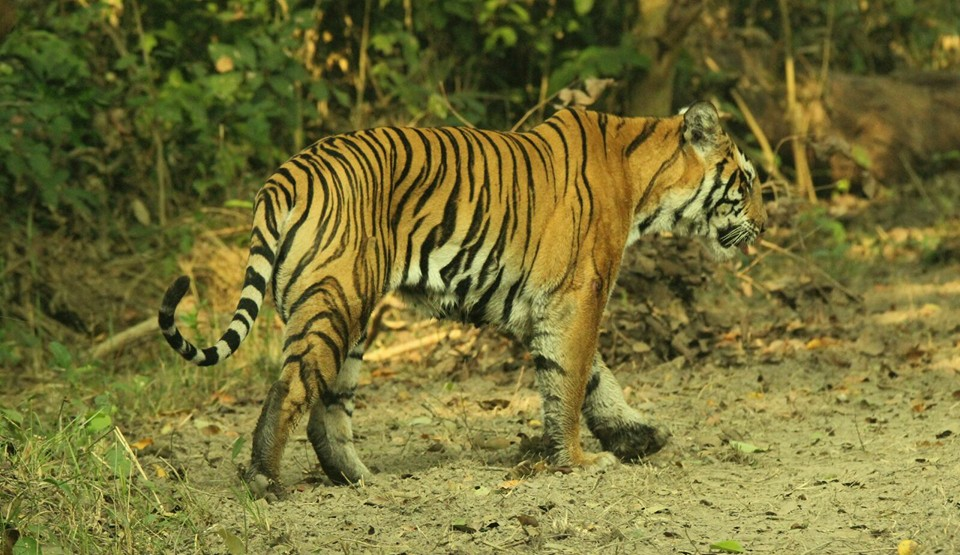 Hey There !! I am here come and spot me, Tiger in Kishanpur Wildlife Sanctury