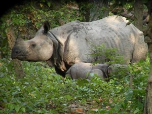 rhino in dudhwa - dudhwa tour packages - confirm dudhwa jeep safari