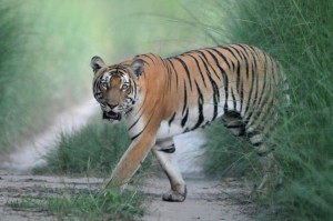 tiger in dudhwa national park - dudhwa tiger safari