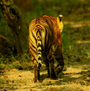 Dudhwa Tiger, walking alone